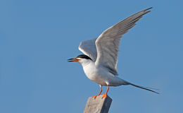 Forster's Tern. Photograph of a Forster's Tern with wings spread against a blue sky Royalty Free Stock Images