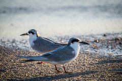 A Forster`s Tern Bird in Anna Maria Island, Florida. Birds enjoying the epic scenery of sunset in the beach of Anna Maria Key royalty free stock images