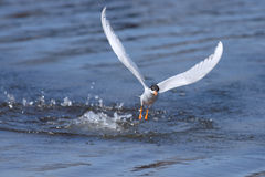 Forster's Tern diving Royalty Free Stock Photo