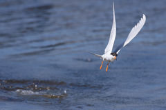 Forster's Tern diving Royalty Free Stock Images