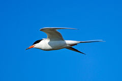 Forster's Tern In Flight Royalty Free Stock Photo