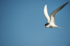 Forster's Tern in Flight Stock Image