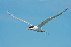 Forster's Tern In Flight Royalty Free Stock Photography