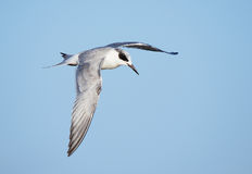 Forster`s Tern In Flight Stock Photography