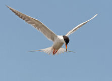 Forster's Tern Stock Photo