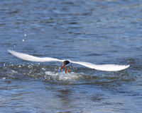 Forster's Tern just catching a small fish. Royalty Free Stock Photos