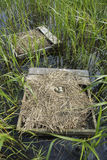 Forsters Tern Nests. Floating nesting platforms placed for Forster's Terns (Sterna forsteri), contained nests and eggs Stock Photos