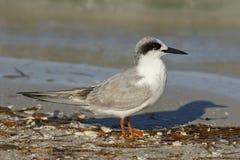 Forster`s Tern in non-breeding plumage - Florida Stock Image