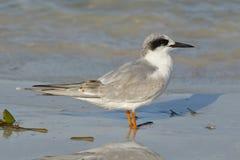 Forster`s Tern in non-breeding plumage - Florida Stock Photos