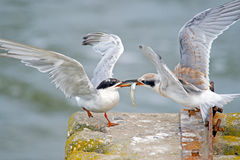 Forster's Tern's Royalty Free Stock Image