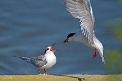 Forster's Tern's Royalty Free Stock Photos