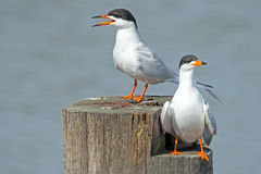 Forster's Tern's Stock Image