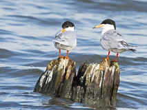 Forster`s Tern Royalty Free Stock Photos