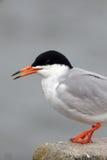Forster's Tern, Sterna forsteri Stock Photos