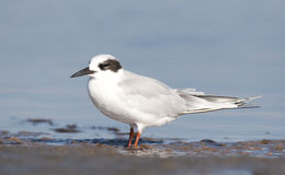 Forster's Tern, Sterna forsteri. On gray sand beach with blue water background stock image