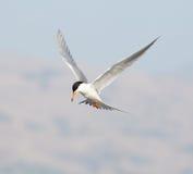 Forster's tern (Sterna forsteri) in flight Stock Photo