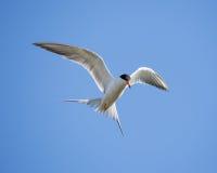 Forster's tern (Sterna forsteri) in flight Stock Image