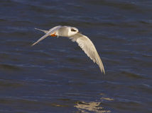 Forster's Tern Stock Photos