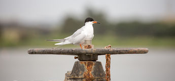 Forster's tern - Sterna forsteri Royalty Free Stock Images