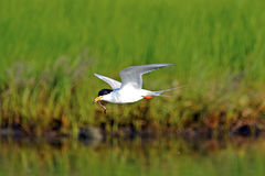 Forster's Tern With Worm Royalty Free Stock Image