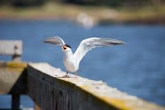 Forster tern - mostku forsteri, dorosła hodowla, skrzydła rozprzestrzeniający Obrazy Royalty Free