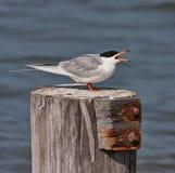 forster tern s Obraz Stock
