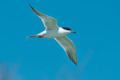 forster tern s Fotografia Royalty Free