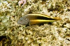 forsteri有雀斑的hawkfish paracirrhites 库存图片