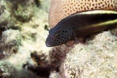 forsteri有雀斑的hawkfish paracirrhites 库存照片