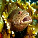 Forsteri couvert de taches de rousseur de Hawkfish - de Paracirrhites photographie stock libre de droits