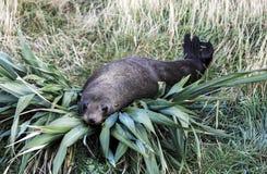 Forsteri d'Arctocephalus de joint de fourrure du Nouvelle-Zélande se reposant sur le buisson de lin Photos stock
