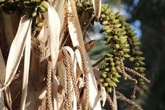 Forsteriana Howea (ладонь Kentia) с много плодоовощей Стоковое Фото