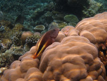 Forsters Hawkfish (Paracirrhites forsteri) Royalty Free Stock Photography