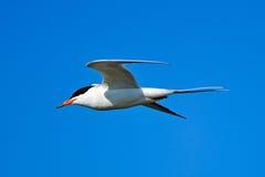 Forsters Seeschwalbe im Flug Lizenzfreies Stockfoto