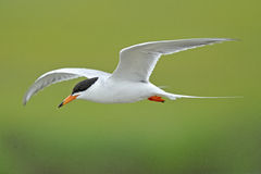 Forsters Seeschwalbe im Flug Stockfotos