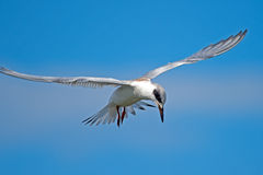Forsters Seeschwalbe im Flug Lizenzfreie Stockfotos