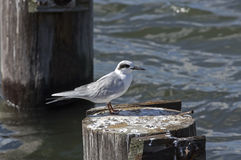 Forsters Tern Royalty Free Stock Images