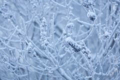 Forsty buske på vintern royaltyfri foto