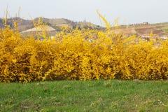 Forsycje, żółci wiosna kwiaty i zielona trawa, Obrazy Stock