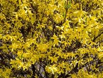 Forsycje s? genus kwiatono?ne ro?liny w oliwnej rodziny Oleaceae zdjęcia royalty free