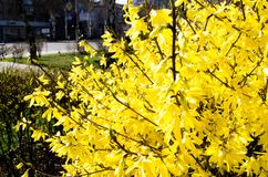Forsycji miasta flora cityscape kwitn?ce forsycje Wiosna sk?ad krzak krzak kwitnie kolor ? zdjęcia stock