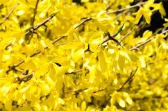 Forsycji miasta flora cityscape kwitn?ce forsycje Wiosna sk?ad krzak krzak kwitnie kolor ? obraz royalty free