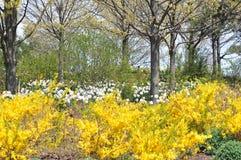 Forsyshia and daffodil Stock Image