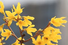 Forsythia(Forsythia suspensa). Forsythia Forsythia is beautiful and thriving. First leaf spring flowering, long flowering period, and much flower in full Royalty Free Stock Images