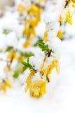 Forsythia är under snön Royaltyfria Foton
