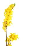 forsythia κίτρινο Στοκ φωτογραφία με δικαίωμα ελεύθερης χρήσης