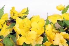forsythia λουλουδιών κινηματογραφήσεων σε πρώτο πλάνο Στοκ εικόνα με δικαίωμα ελεύθερης χρήσης