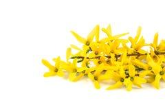 Forsythia λουλουδιών Στοκ φωτογραφία με δικαίωμα ελεύθερης χρήσης