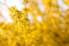 Forsythia в солнечном предыдущем саде весны стоковое изображение