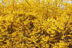 Forsythia, желтая весна цветет предпосылка Стоковая Фотография RF
